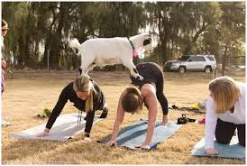 Goat Doing Yoga in the Park with People