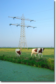 Two Cows in a Field near Electrical Poles