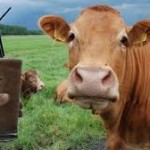 Does Chocolate Milk Come From Brown Cows?